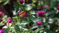 butterfly feeding video