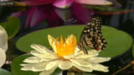 butterfly feeds on nectar from a lily video