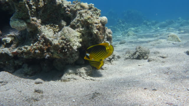 Butterfly Fish video