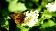 Butterfly, flowering Bush video
