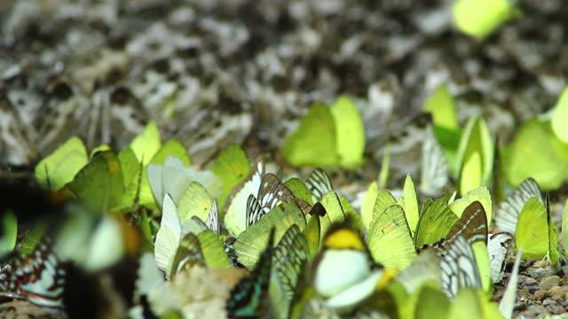 Butterfly ,HD video
