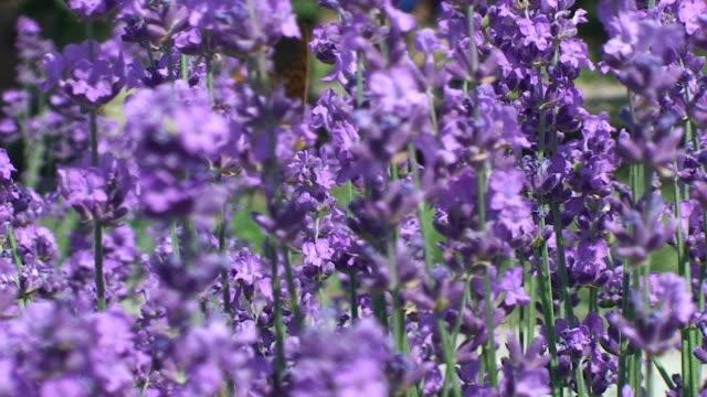 Butterfly in lavender bush video
