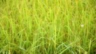 Butterfly in rice field video