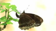 Butterfly laying eggs on green leaf video