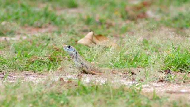 Butterfly lizard sand grass. video