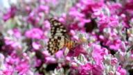 Butterfly Macro Closeup video