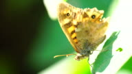 Butterfly macro shot in 4K resolution (Pararge aegeria) video