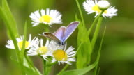 Butterfly on a daisy flowers video