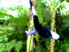 Butterfly on a flower (Heliconius) video