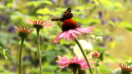 Butterfly on a pink cone  flower. video