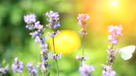 White butterfly pollinating lavender video