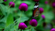 Butterfly on flowers,Slow motion video