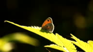 Butterfly on Graan Plants In Sunny Spring Day video