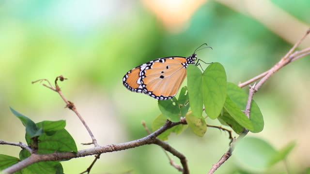 Butterfly on green leaf video