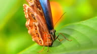 4K Butterfly on Leaf Cleaning Eyes, Macro Close Up Shot video