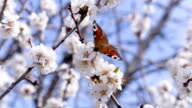 Butterfly on the flowering apricot tree. Footage 4K, Ultra HD, UHD video