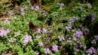 Butterfly on thyme flowers video