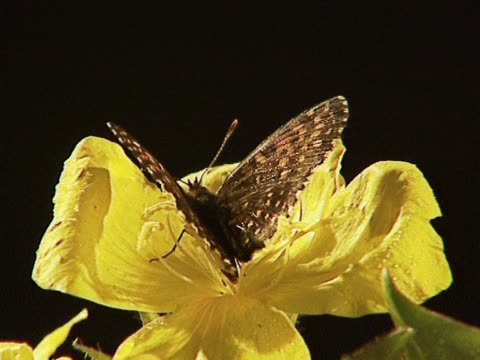 Butterfly on yellow flower video