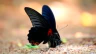 Butterfly pee video