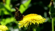 Butterfly picking pollen on dandelion video