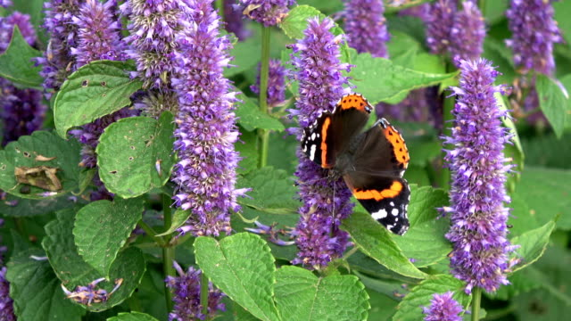 butterfly red admirol and bumblebee on anise hyssop video