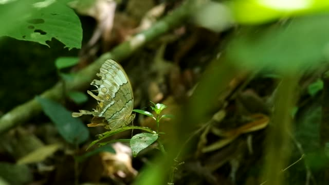 butterfly resting on the shaken leaf video