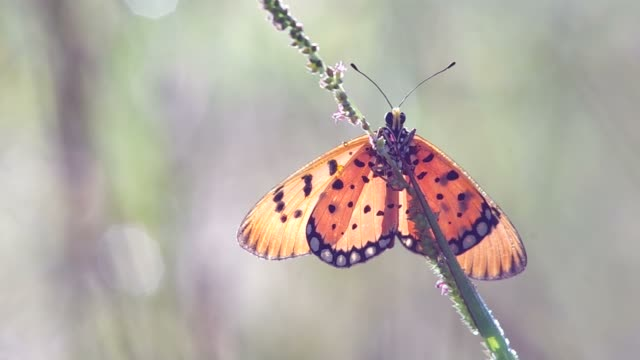 butterfly resting on the weed shoot video