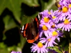 Butterfly sitting on a flower NTSC video