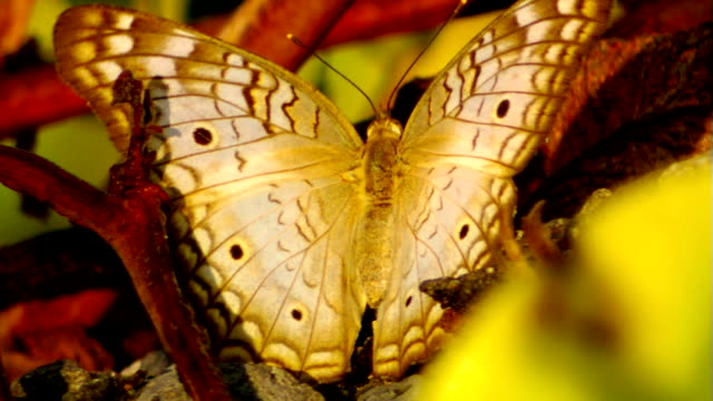 Butterfly sitting on plant moving wings slowly video