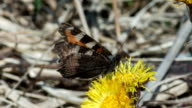 Butterfly Small Tortoiseshell video