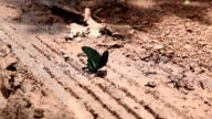 Butterfly take pee video