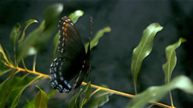 Butterfly taking off video