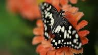 Butterfly. video