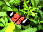 Butterfly (Heliconius erato) video