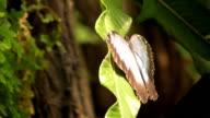 Butterfly (HD) video