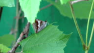 Butterfly with closed wings sit on leaf and wind move plant video