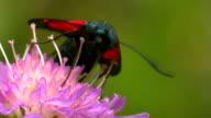 Butterfly Zygaenidae video