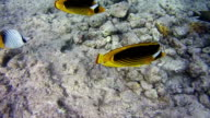 Butterflyfish, Chaetodon fasciatus, Colorful Tropical Fish on Coral Reefs in the Red Sea video