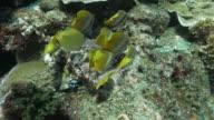 Butterflyfish feeding on algae, coral reef, undersea video