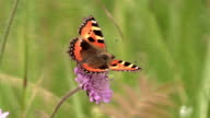 butterfy Small Tortoiseshell on pink flower in summer garden video