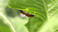cabbage bedbug couple Eurydema ventralis video