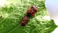 cabbage bug couple Eurydema ventralis close-up video