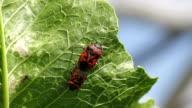 cabbage bug couple Eurydema ventralis video