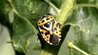 cabbage bug Eurydema ventralis close-up video
