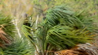 Cabbage Palm fronds on treetop being battred in hurricane video
