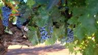 Cabernet Sauvignon Grapes video