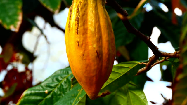 Cacao pod on the tree close up video