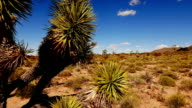 Cactus and joshua trees in Arizona video