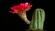 Cactus Flower Time Lapse video