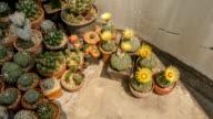 cactus flower under sunlight shadow video